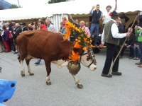 traditional decorated cow